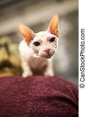 Portrait of a bald cat at an exhibition .