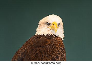 Portrait of a Bald Eagle Blinking