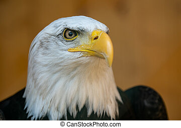 Portrait of a bald eagle (Haliaeetus leucocephalus) on brown background