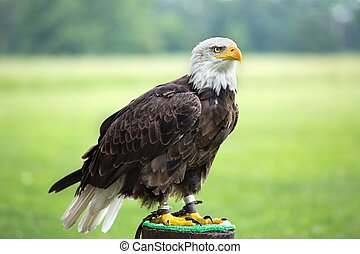 Portrait of a bald eagle (lat. haliaeetus leucocephalus) -...