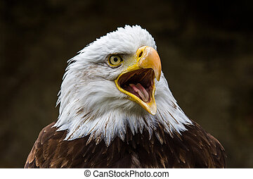 Portrait of a bald eagle lat. haliaeetus leucocephalus