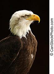 Bald Eagle - Portrait of a Bald Eagle