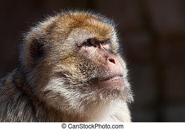 portrait of a barbary ape