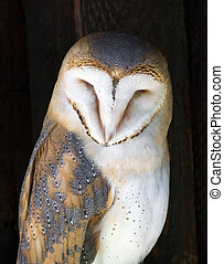 Portrait of a Barn owl (Tyto alba) - Barn owl (Tyto alba) ...