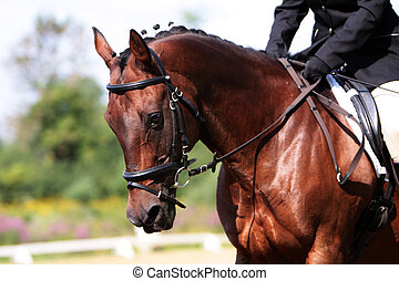 Beautiful portrait of a bay Quarter Horse while doing a Dressage test at a show in Canada