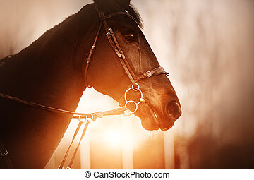 Portrait of a bay horse with a bridle on its muzzle, which is illuminated by the rays of the setting sun in the evening. Equestrian life. Horse riding.