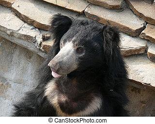 portrait of a bear closeup
