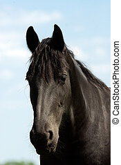 portrait of a beatiful black horse