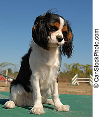 cavalier king charles - portrait of a beautiful cavalier...