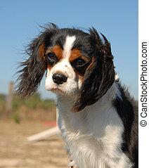cavalier king charles - portrait of a beautiful cavalier...