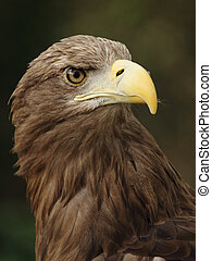 eagle - portrait of a beautiful european eagle