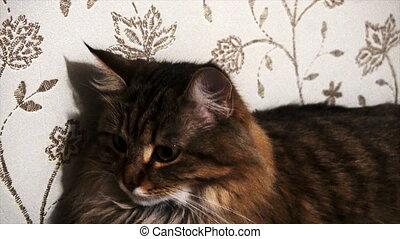 portrait of a beautiful gray cat.