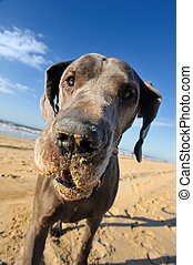 Portrait of a beautiful Great Dane on the beach