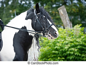 Portrait of a beautiful gypsy horse with long mane