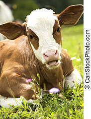 Portrait of a beautiful heifer (young cow) on the grass. Green nature in background.