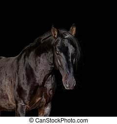 Portrait of a beautiful horse looking forward isolated on black.