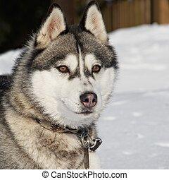 Portrait of a beautiful husky dog