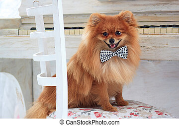 Portrait of a beautiful pomeranian puppy.
