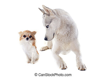 siberian husky and chihuahua - portrait of a beautiful ...