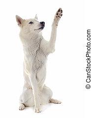 portrait of a beautiful purebred siberian husky and paw