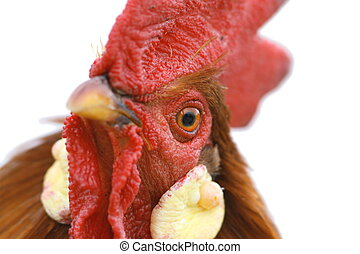 portrait of a beautiful rooster