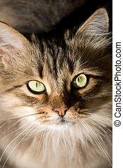 portrait of a beautiful Siberian cat