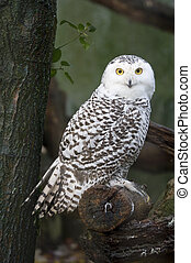 snow owl - portrait of a beautiful snow owl (Bubo scandiacus...