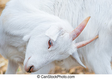 portrait of a beautiful white goat closeup