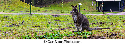 portrait of a bennett's wallaby standing in a grass pasture, kangaroo from Australia