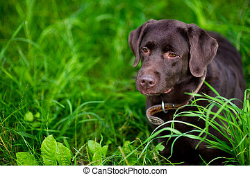 portrait of a big dog in the grass. brown labrador. Copy space