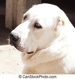 Portrait of a big white dog Alabai