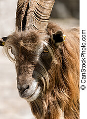 Portrait of a Billy Goat - Italian Alps