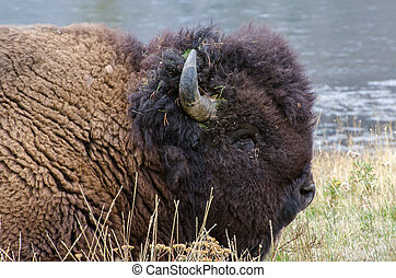 Portrait of a Bison laying down near Madison River in Yellowstone National Park
