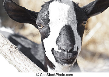 portrait of a black and white goat.