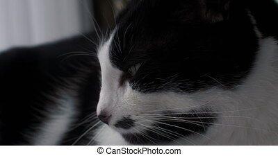 Portrait of a black and white house cat.