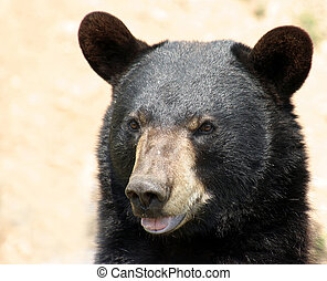 black bear - portrait of a black bear