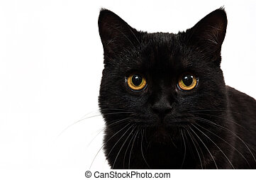 Portrait of a black cat in studio with white background