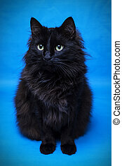 Portrait of a black cat with a blue background