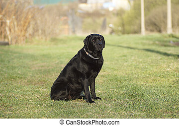 Portrait of a black dog.