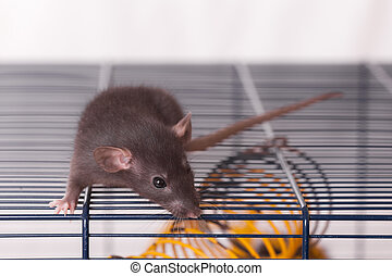 black domestic rat on a cage