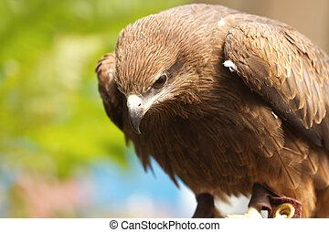 Portrait of a black hawk