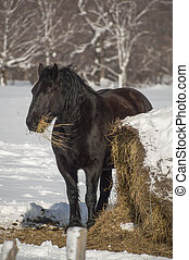 Portrait of a black horse eating hay in wintertime