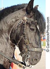 Portrait of a black horse
