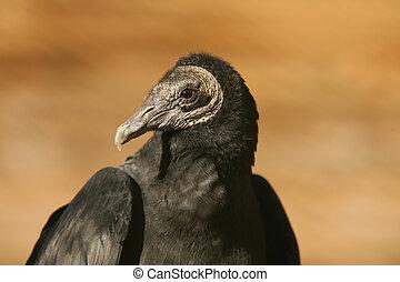 Black Vulture - Portrait of a Black Vulture