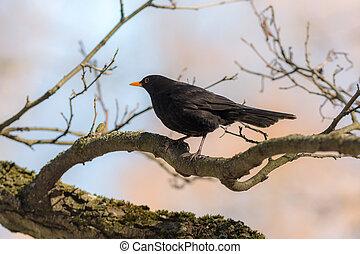 blackbird on a tree branch