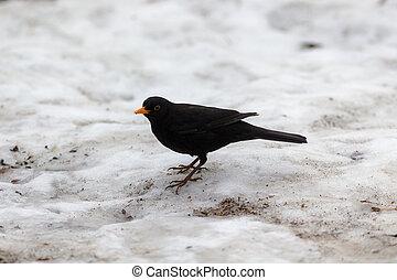 blackbird on the snow