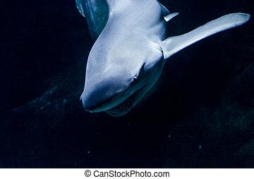 Portrait of a blacktip reef shark in the dark water