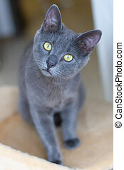 Portrait of a blue cat
