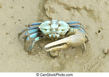 Portrait of a Blue Crab
