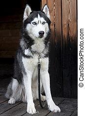 Portrait of a blue eyed beautiful Siberian Husky dog